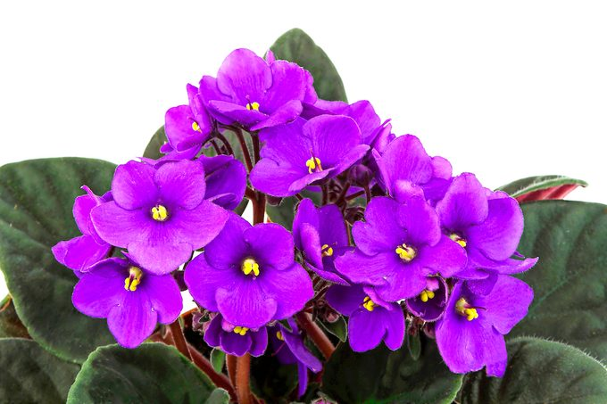 African violets plant gifts