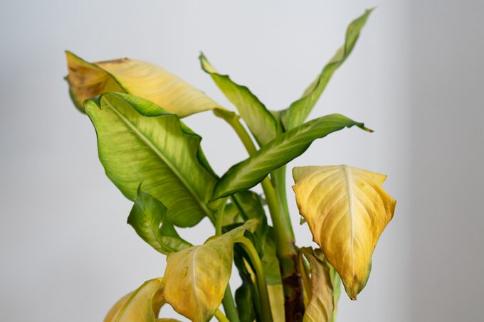 Dieffenbachia Camilla (dumb cane) with yellow leaves and brown spots
