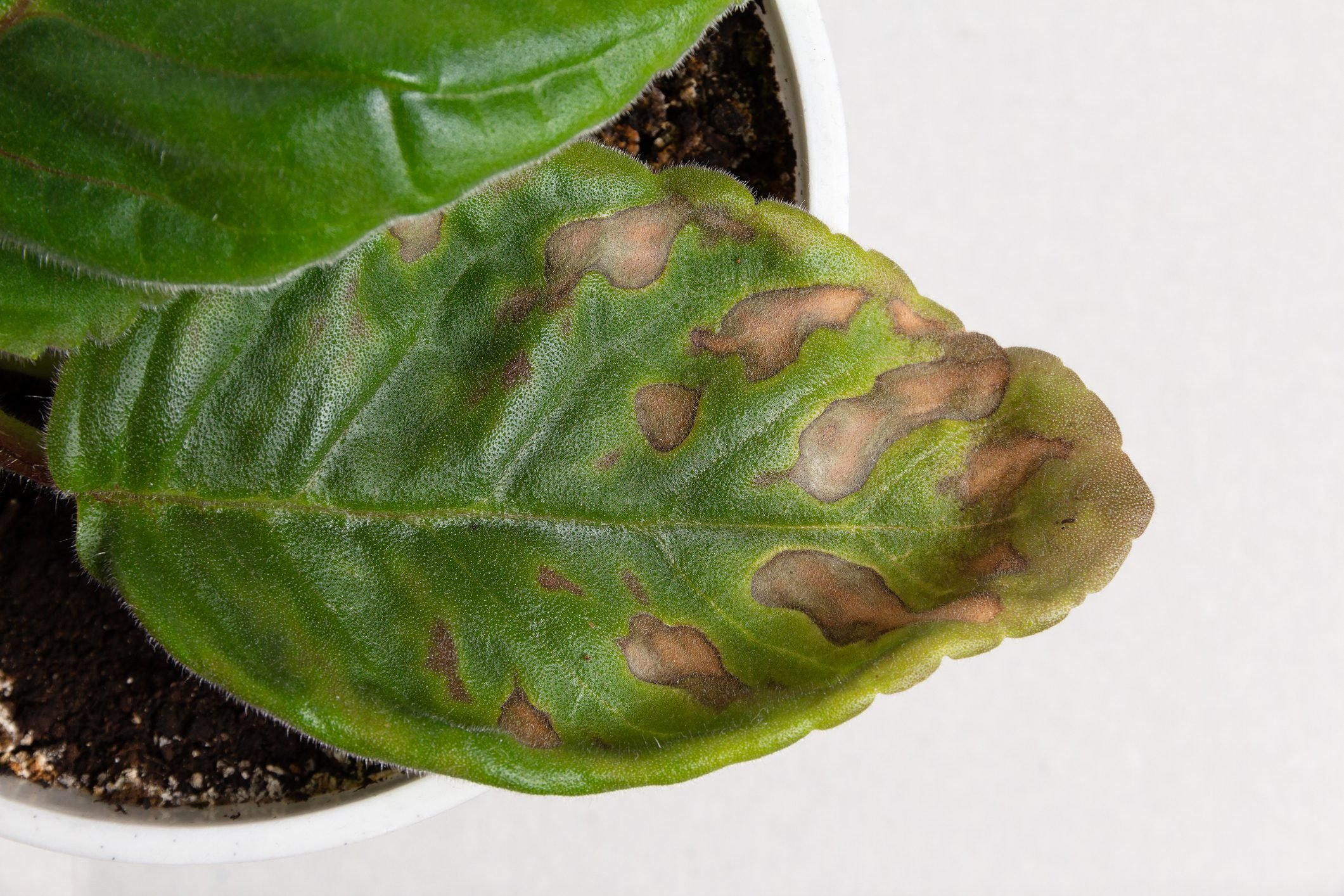 Spots on the green leaf of a houseplant wisteria. Home plant diseases