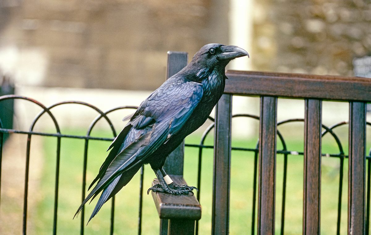 A raven at the Tower of London.