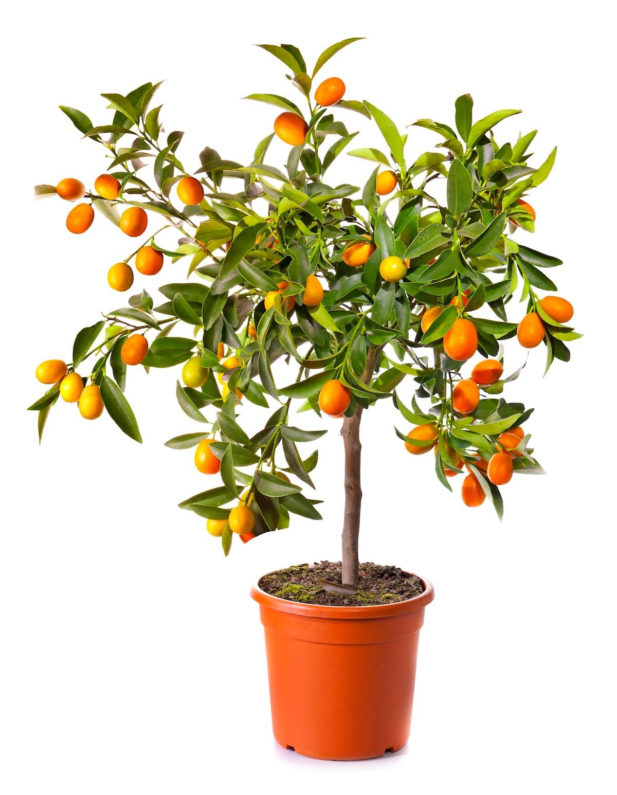 Lemon tree plant gifts