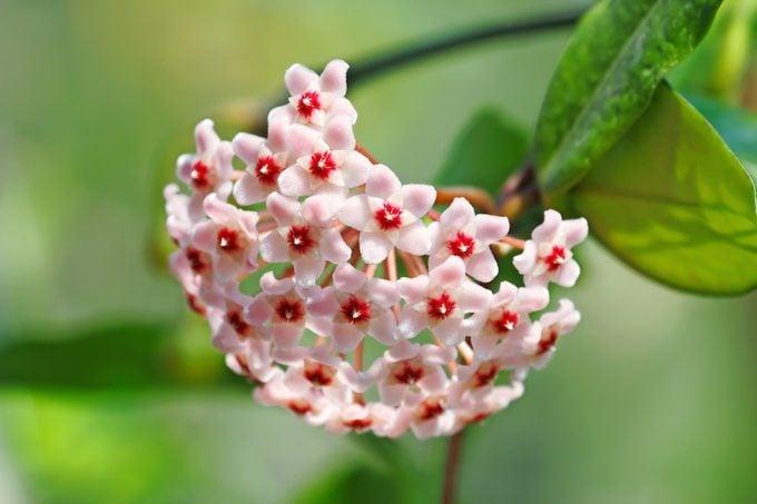 Wax plant, Hoya carnosa, Indoor plant facts