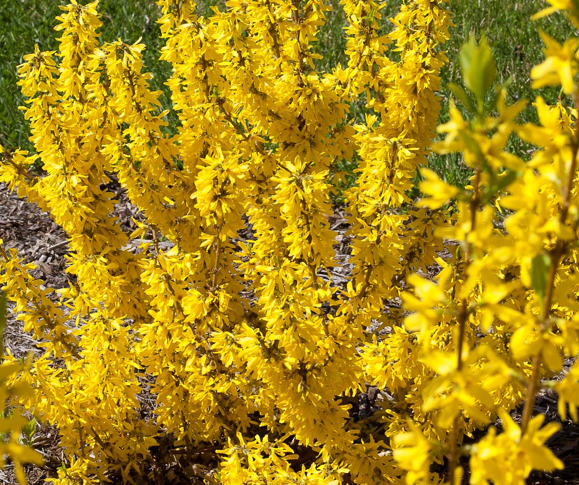 forsythia early blooming spring flowers