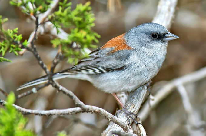 Red-backed junco