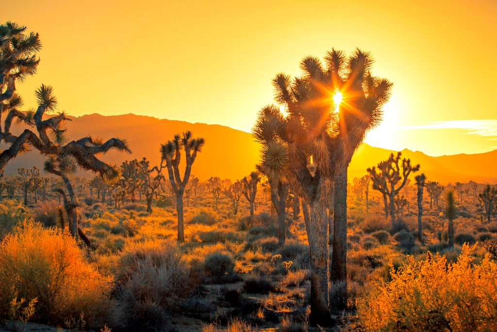 Joshua trees outlined by the sunset at Joshua Tree National Park.