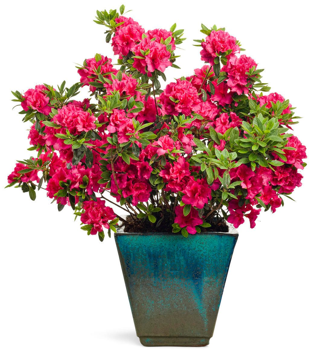 bloom-a-thon azalea proven winners