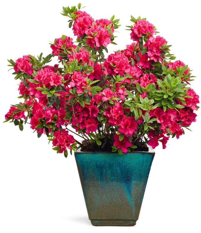 bloom-a-thon azalea proven winners