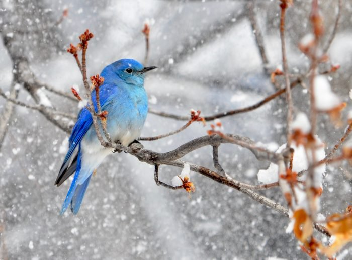 A mountain bluebird perches on a tree during a winter snowstorm.
