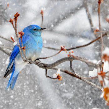 How to Identify a Mountain Bluebird