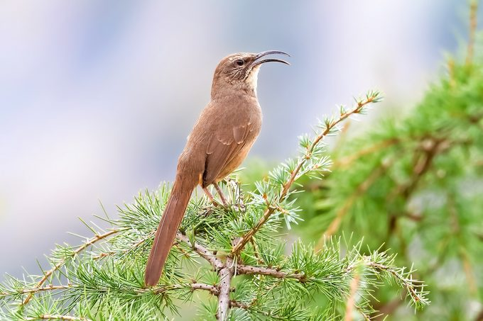 California Thrasher singing while perched on a pine tree branch.