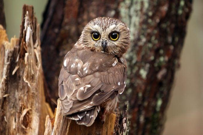 cute birds, northern saw-whet owl