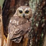 Northern Saw-Whet Owls: The Cutest Owls