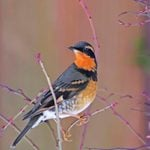 The Varied Thrush: Voice of the Northwest
