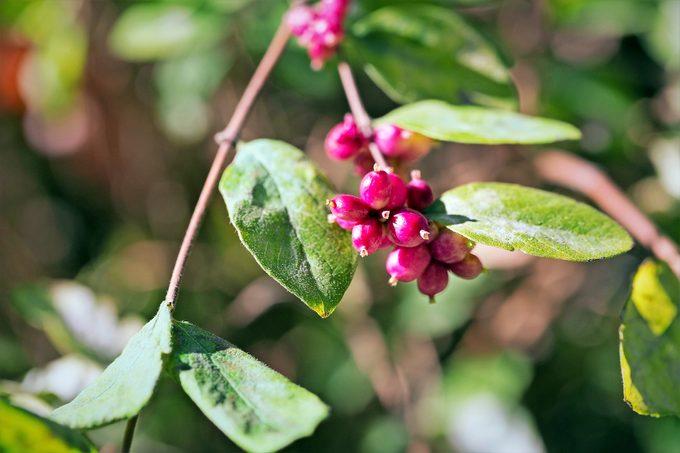 Symphoricarpos Orbiculatus Berries, Close Up.