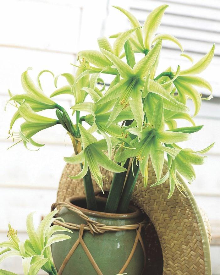 Hippeastrum Evergreen