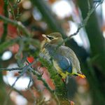 All About Cedar Waxwing Baby Birds and Nests