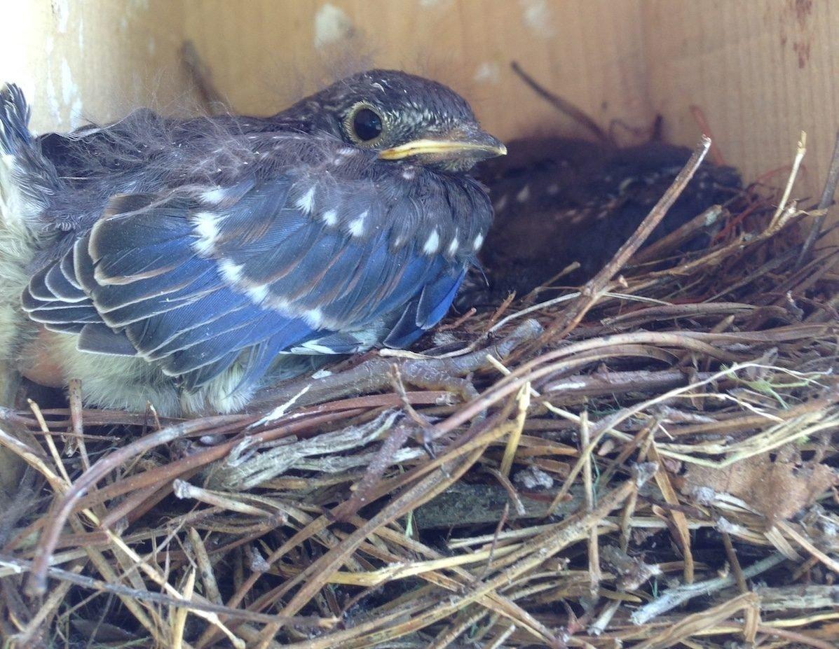 bluebird nest and baby bluebird
