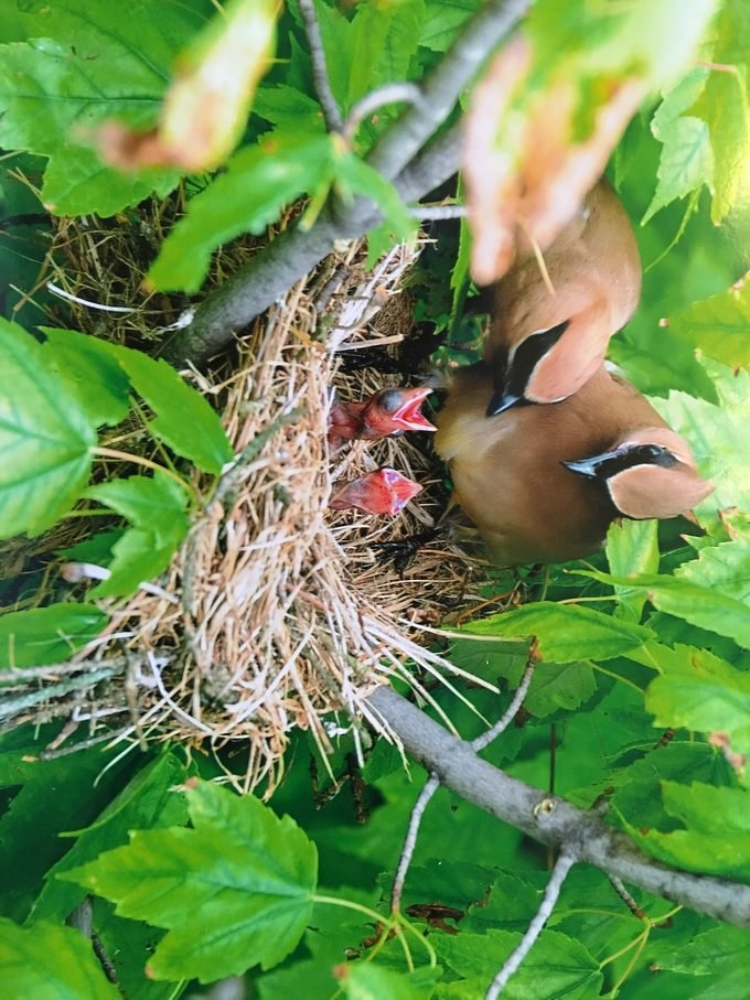 cedar waxwing baby and nests