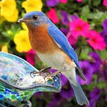 20 Beautiful Pictures of Bluebirds