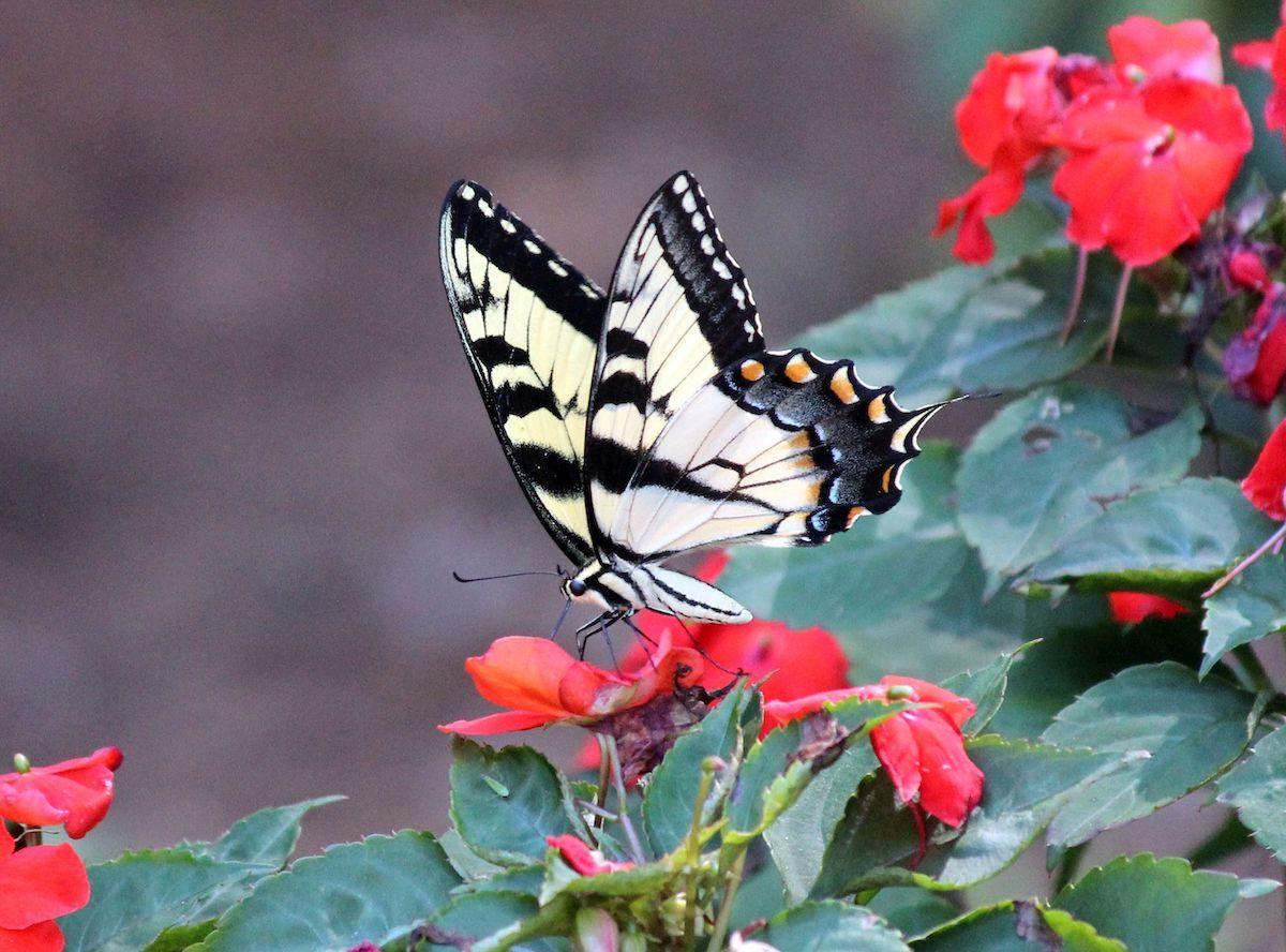 impatiens easy flowers to grow