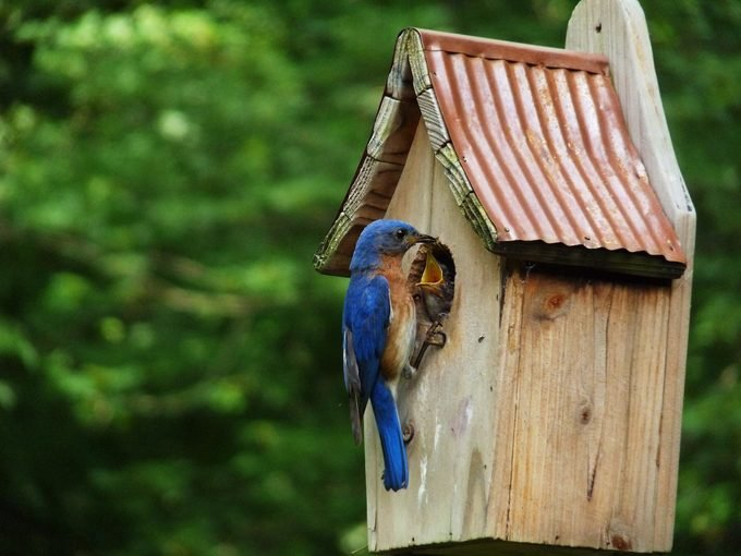 bluebird house placement