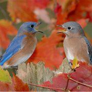 Eastern Bluebird (sialia Sialis) Male And Female