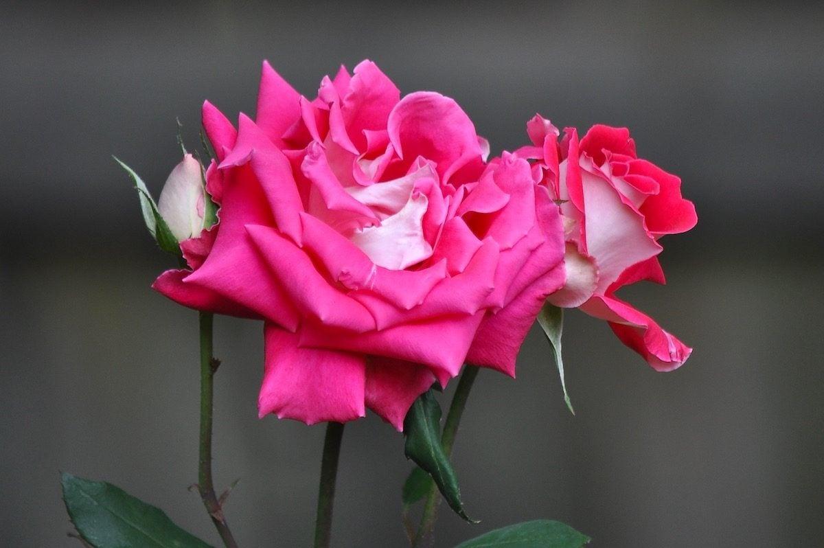 roses send flowers