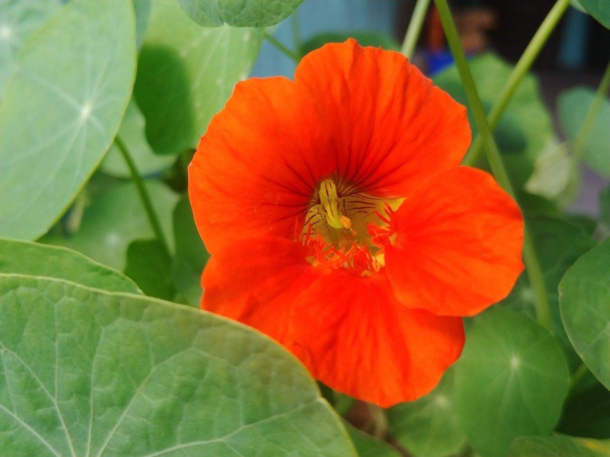 nasturtium easy flowers to grow