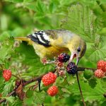 19 Berry Bushes Birders Should Grow