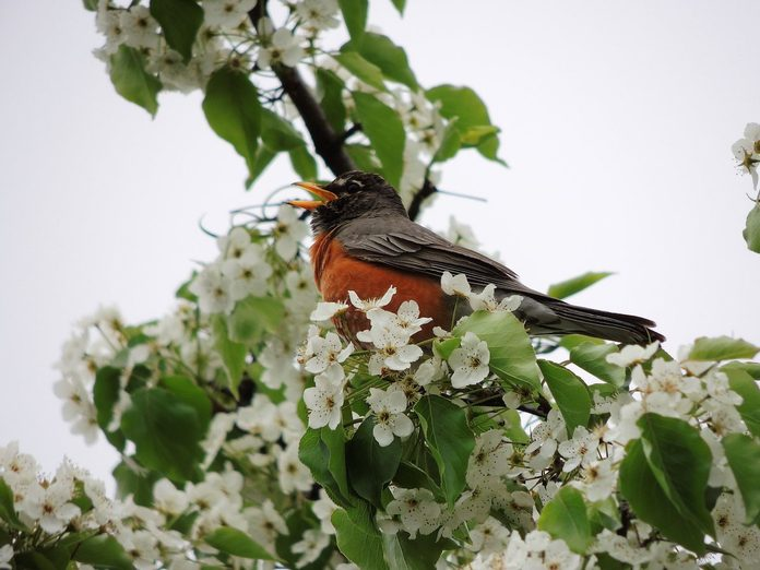 robin bird call