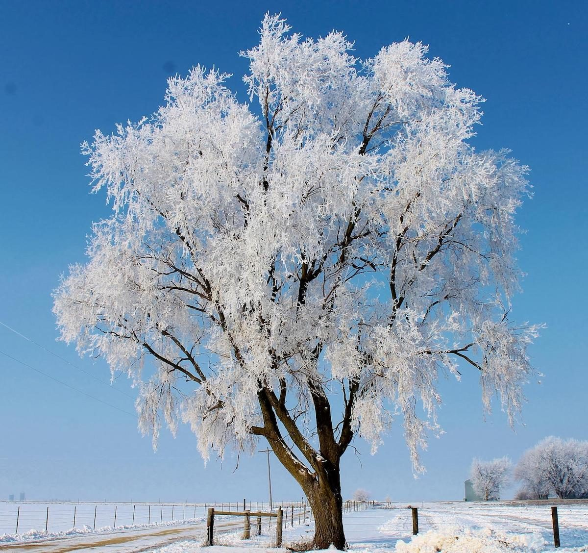 A solitary tree covered in hoarfrost against a blue sky.