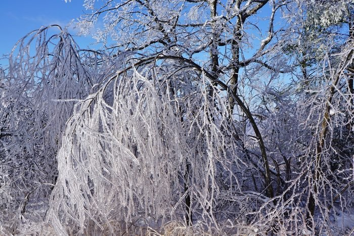 A tree branch bending to the ground under the weight of the ice-covered branches.