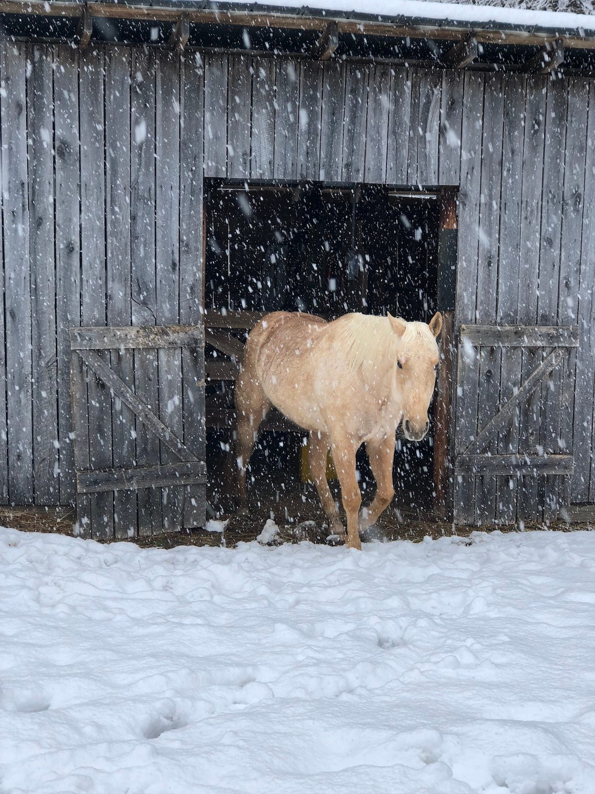 A Palomino horse trotting out of a red barn in the falling snow.