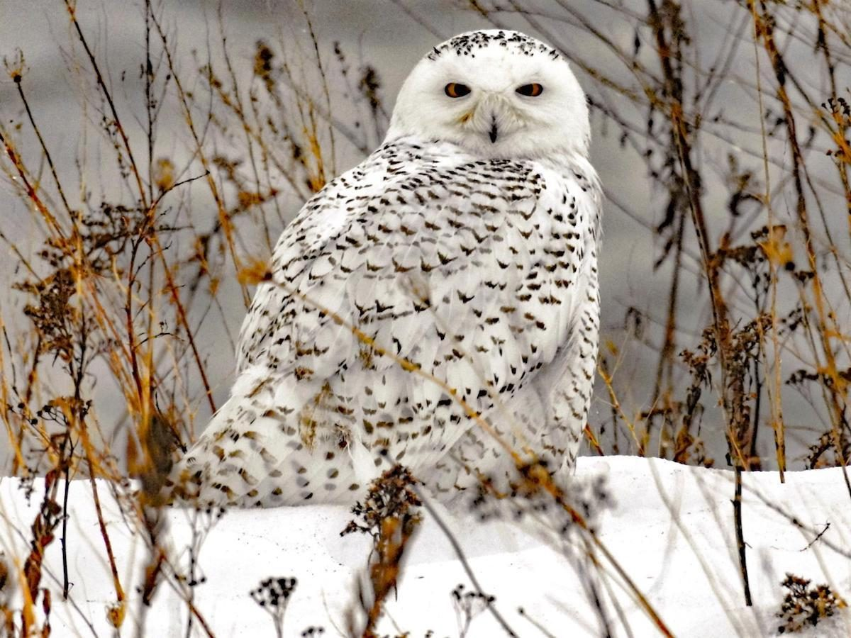 Snowy owl on a branch in winter