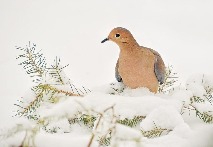 A close up of a mourning dove on evergreen branches covered in snow.