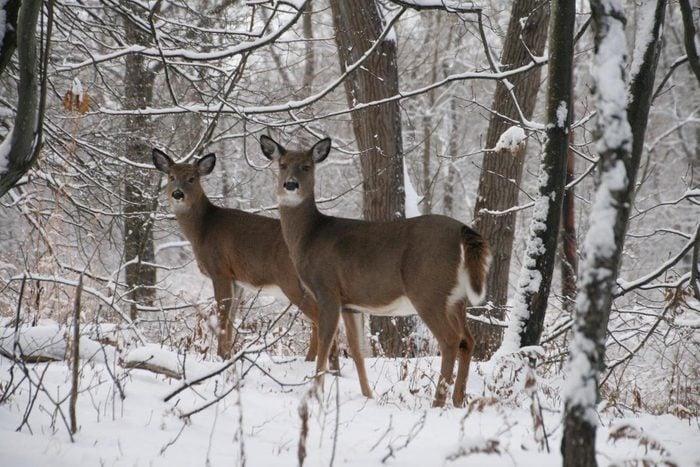 Two deer standing in a winter woods.