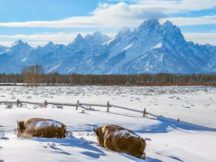 Two bison plowing their way through the snow in front of the Teton Mountains.