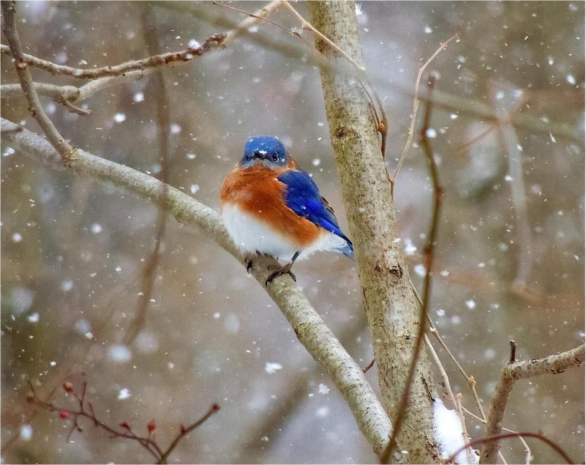 A colorful bluebird perched on a branch in the falling snow.