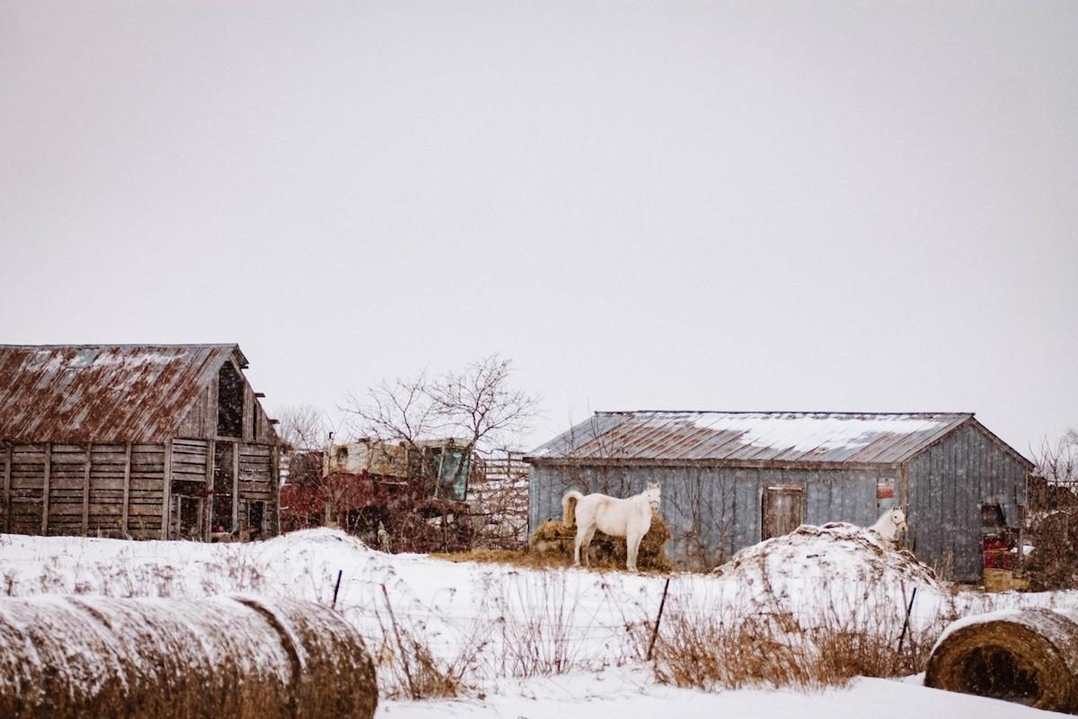 A winter farm scene with two white horses and barns.