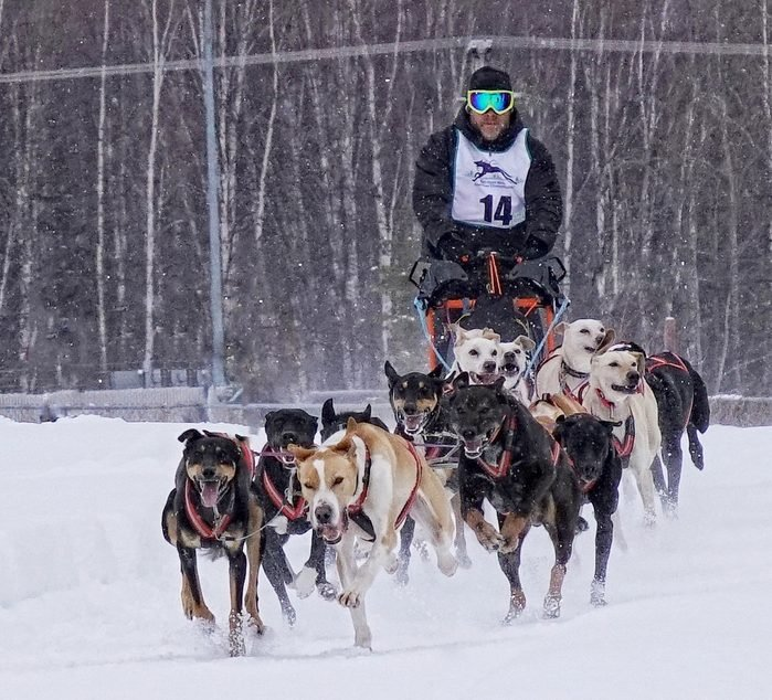A musher and team of sled dogs racing through the snow.