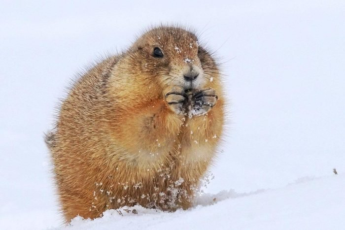 A prairie dog chowing down on something in a snowstorm.