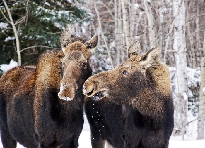 Two moose looking at each other in the snow.