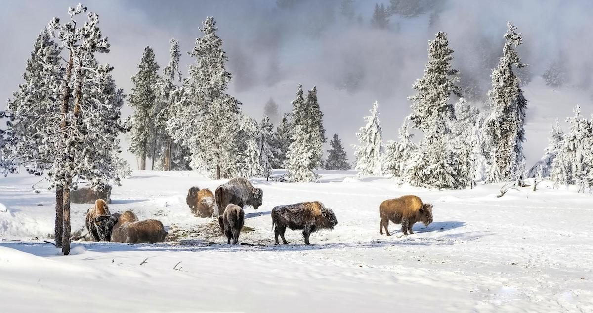 A herd of bison among the trees on a winter day in Yellowstone National Park.