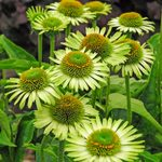 10 Gorgeous Green Flowers for Your Garden