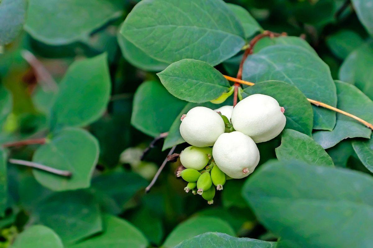 White Berries Of Symphoricarpos Albus Known As Common Snowberry On A Bush