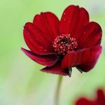 Treat Yourself with Chocolate Cosmos Flowers