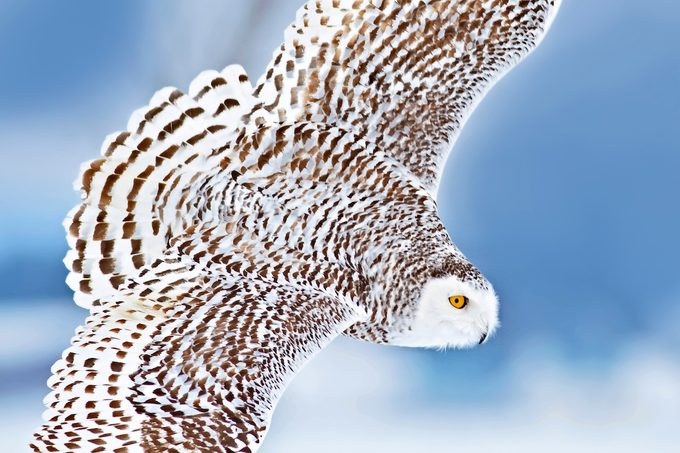 Snowy Owl (Bubo scandiacus) hunting for prey in Ontario, Canada.