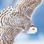 Get to Know Snowy Owls and Where to Find Them