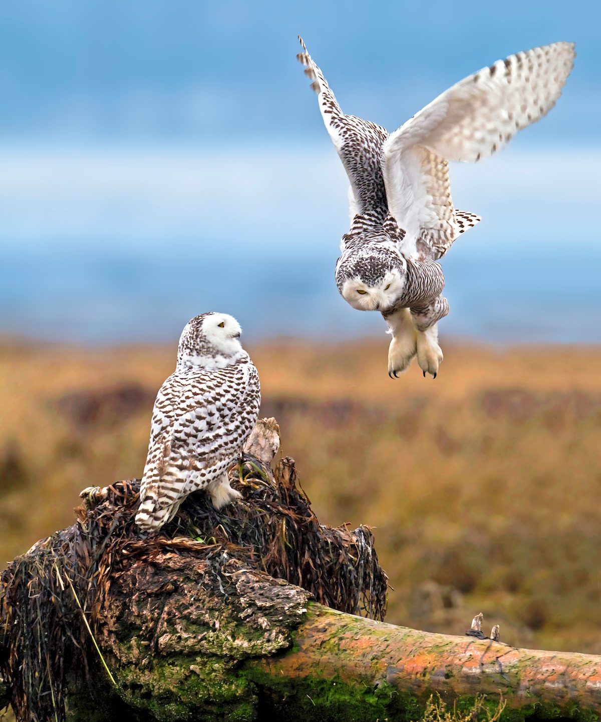 Two snowy owls in an open space.