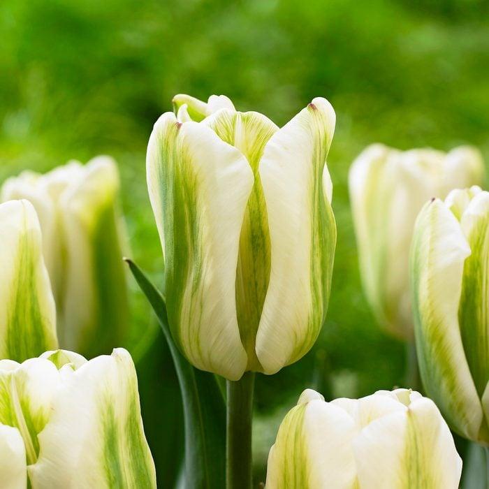 Tulipgreenspiritlngfieldgrdns